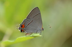 Gray hairstreak butterfly Royalty Free Stock Photography