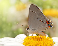 Gray Hairstreak butterfly on a Shasta Daisy flower. Dreamy image of a Gray Hairstreak butterfly on a Shasta Daisy flower Stock Images