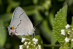 Gray Hairstreak Butteryfly on White Lantana Blooms Stock Photo