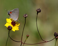 Gray Hairstreak With Coreopsis Flower Royaltyfri Bild