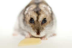 Gray hamster eating cheese. Photographed on white background stock photo