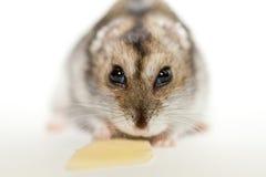 Gray hamster eating cheese Stock Photo