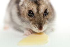 Gray hamster eating cheese. Photographed on white background royalty free stock photo