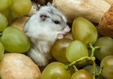 Gray hamster in grapes and mushrooms. Close-up stock image