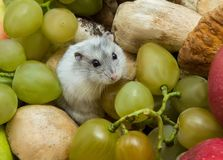 Gray hamster in grapes and mushrooms. Close-up stock photography