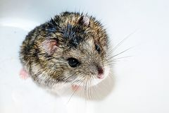 Gray hamster on a white background, domestic rodent hamster.  royalty free stock photography