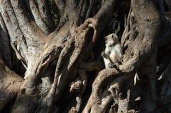 Gray (Hanuman) langur  baby sitting on banyan tree Royalty Free Stock Photos