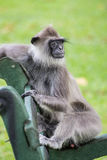 Gray / Hanuman langur monkey relaxing on a bench, Sri Lanka. A grey langur monkey relaxing peacefully on a bench, staring into the distance Stock Photography