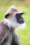 Gray / Hanuman langur monkey, Sri Lanka. Gray langur / hanuman monkey, a type of `old world monkey`, shot in Sri Lanka Royalty Free Stock Images