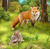 Gray hare eating grass. Hunting fox in the forest. Royalty Free Stock Images