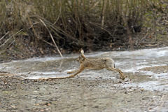 Gray hare Royalty Free Stock Photography