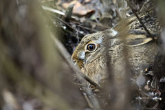 Gray hare Royalty Free Stock Photography