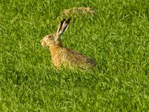 Gray hare on field stock photography