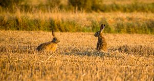 Two gray hares talking on field stock images