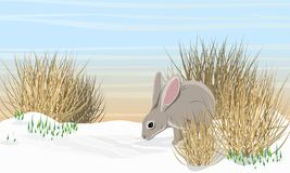 Gray hare on the snow near the dry grass and snowdrops. Spring in Europe and America stock illustration