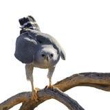 Gray Hawk Imagenes de archivo