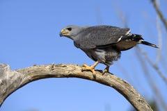 Gray Hawk Imagen de archivo libre de regalías