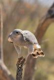 Gray Hawk on Cactus Stock Photos