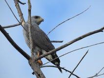 Gray Hawk Costa Rica Fotografía de archivo