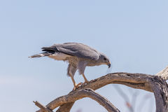 Gray Hawk Perched on Branch Stock Photo