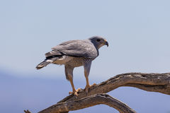 Gray Hawk Stock Photography