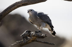Gray Hawk som vilar på en trädfilial Arkivfoton