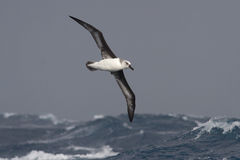 Gray-headed albatross flying over the waves of the Atlantic stor Royalty Free Stock Photo