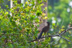 Gray-headed Chachalaca in Rainforest. Stock Photos