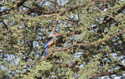 Gray-headed Kingfisher Halcyon leucocephala Perched in a Tree Royalty Free Stock Photos