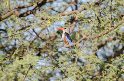 Gray-headed Kingfisher Halcyon leucocephala Perched in a Tree Royalty Free Stock Image