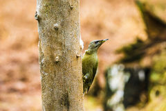 Gray-headed Woodpecker in a spring forest Royalty Free Stock Images