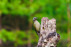 Gray-headed Woodpecker in a spring forest. Gray-headed Woodpecker sitting on a tree stump in a spring forest Stock Photography