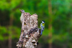 Gray-headed Woodpecker in a spring forest Stock Image