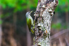 Gray-headed Woodpecker in a spring forest. Gray-headed Woodpecker sitting on a tree stump in a spring forest Royalty Free Stock Photos