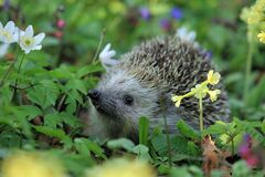 Gray Hedgehog Stock Photography