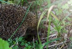 Gray Hedgehog k?r i gr?nt gr?s i det lilla europeiska d?ggdjuret f?r skogen med den n?tta framsidan och med taggiga h?r p? dess b arkivfoto