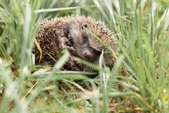 Gray hedgehog in the grass royalty free stock photos