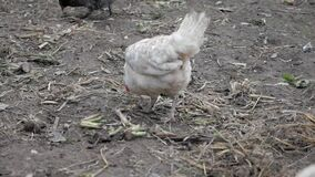 A gray hen walk and searches for food in a rural yard in the fall, and a white hen is pooping
