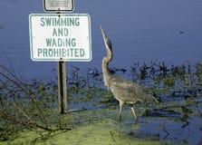 Gray heron Royalty Free Stock Image