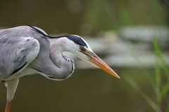 Gray Heron. A gray heron hunting for fish Stock Photography