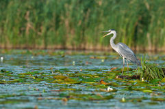 Gray heron Stock Photos