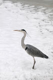 Gray Heron. Standing in Snow Royalty Free Stock Photography