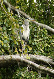 Gray Heron. Perches in a tree on the grounds of Adare Manor in Adare, Ireland Royalty Free Stock Images