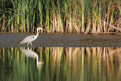 Gray heron Royalty Free Stock Photo