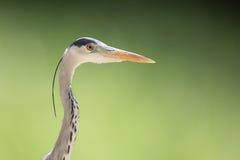 Gray heron. Closeup of gray heron head Royalty Free Stock Image