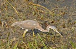 Gray Heron fotografie stock