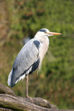 Gray Heron. A photo of a gray heron resting late afternoon Royalty Free Stock Image