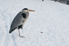 Gray heron, Ardea cinerea, Royalty Free Stock Photos