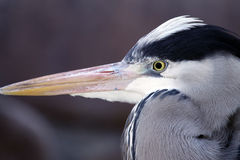 Gray Heron (Ardea Cinerea). Gray Heron - Ardea Cinerea - Portrait Royalty Free Stock Image
