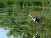Gray Heron (Ardea cinerea) 2 Imagem de Stock